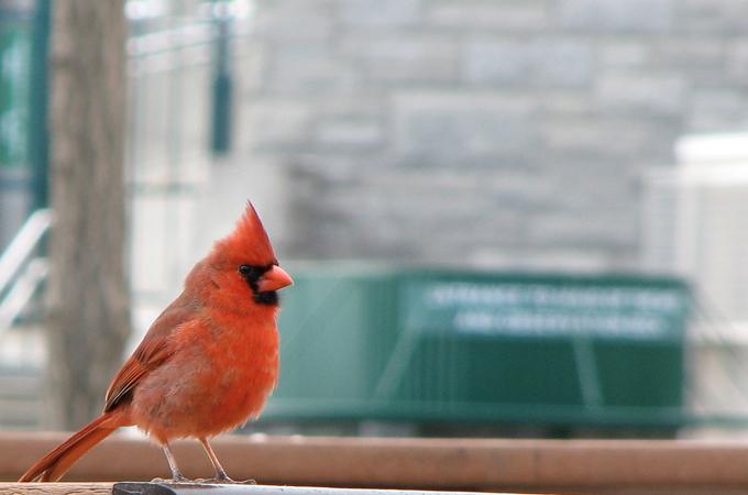 Самец северного кардинала в городе