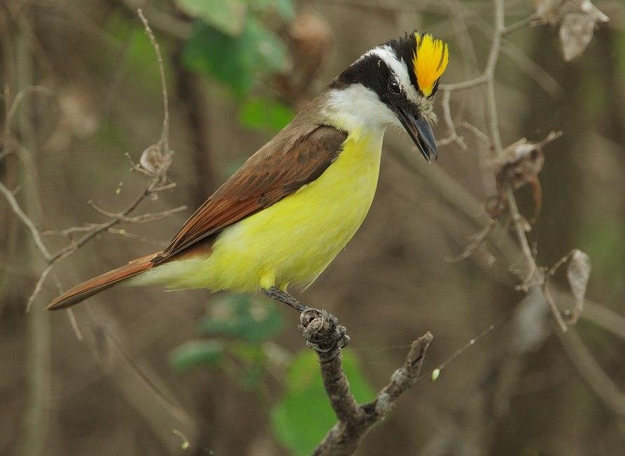 Большая питанга (Pitangus sulphuratus). Распространена от юга Техаса до Аргентины; вселилась на Тобаго и Бермудские острова, где сильно вредит местным экосистемам через хищничество, замещение аборигенных птиц и распространение семян чужеродных растений.