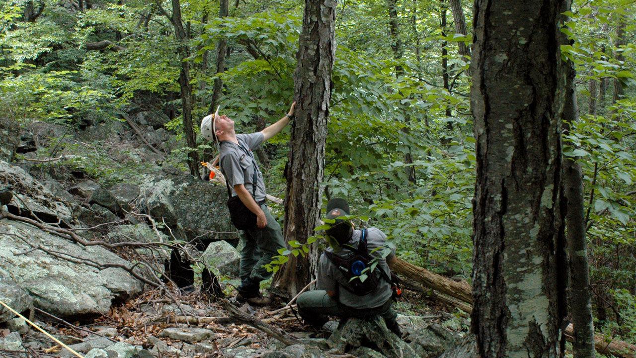 Два служителя нацпарка Шенандоа осматривают крону чёрной берёзы Betula lenta в рамках программы долговременного лесного мониторинга