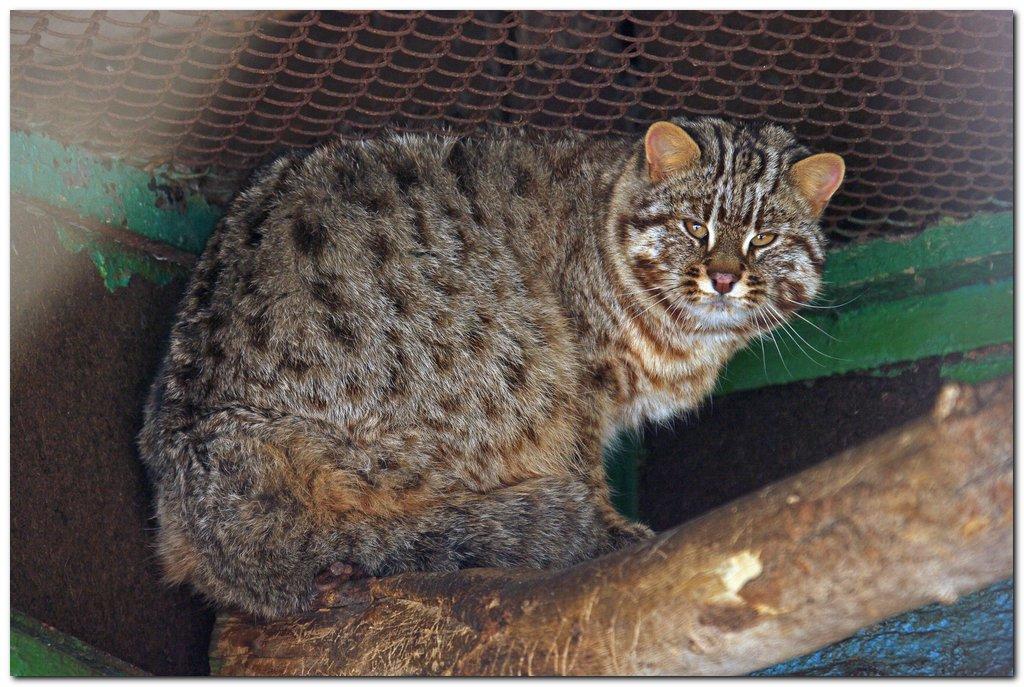 Дальневосточный лесной кот Prionailurus bengalensis