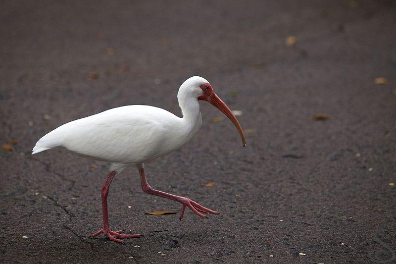 Белый ибис, урбанизировавшийся на юго-востоке США