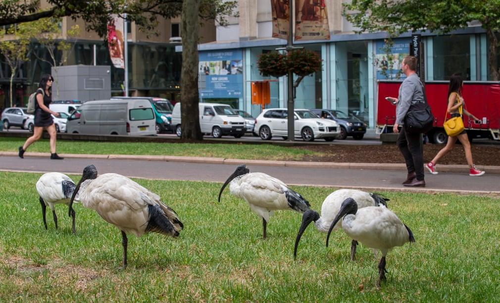 Моллуккские ибисы в Сиднее