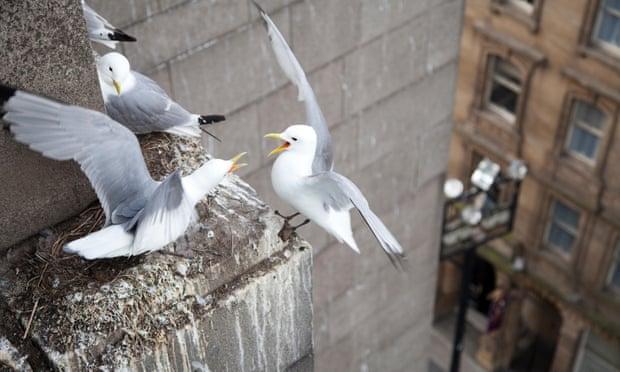 Моевки гнездятся на стенных уступах в Ньюкастле (внешне сходных с природными местами гнездования)