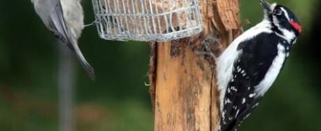 """Обсуждается непригодность модели доместикации Д.К.Беляева для понимания изменений, происходящих в экологическом и эволюционном масштабах времени при освоении городов """"дикими"""" видами птиц и млекопитающих. Доместикация и урбанизация часто отождествляются, т.к. оба считаются """"приспособлением к человеку и созданной им искусственной среде..."""