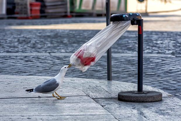 Серебристая чайка пробует открыть пакет с мусором в Риме. 9.04. с.г.