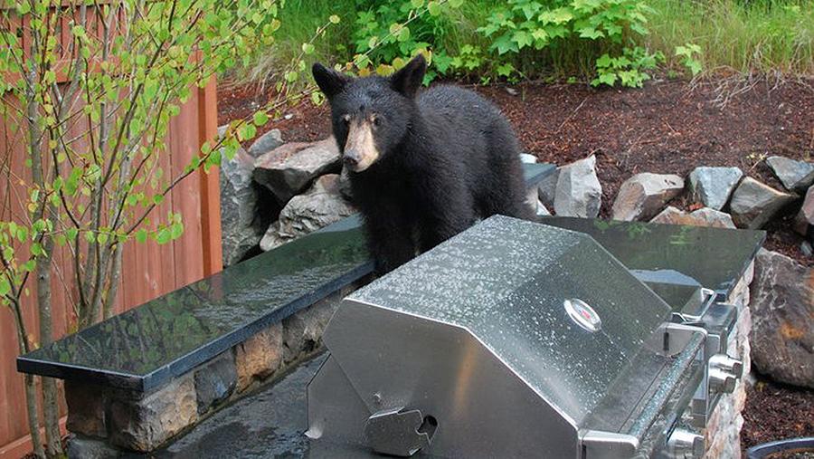 Чёрный медведь (барибал) в Сиэттле