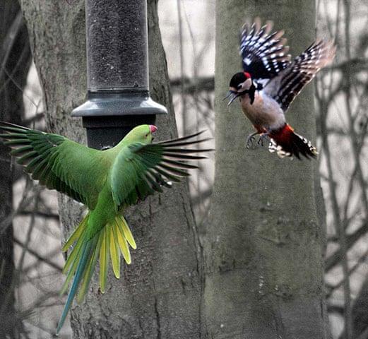 Самец большого пёстрого дятла против попугая Крамера на кормушке английского города