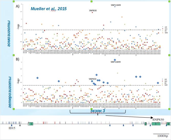 Рисунок 1. Ген DRD4 «городских» больших синиц: CPG-острова и SNP, по которым идёт отбор
