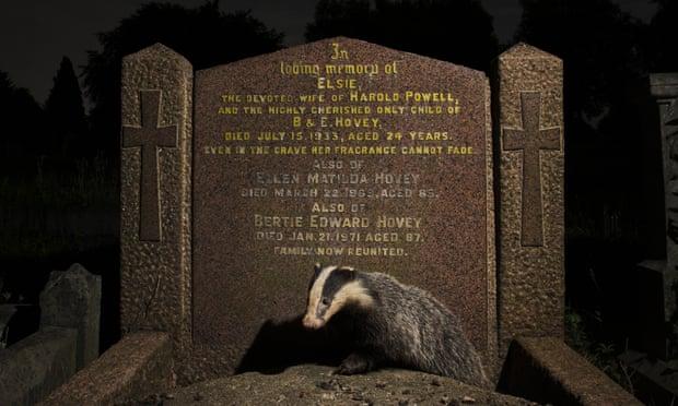 Молодой барсук устроил нору под могильным памятником на кладбище в Бристоле