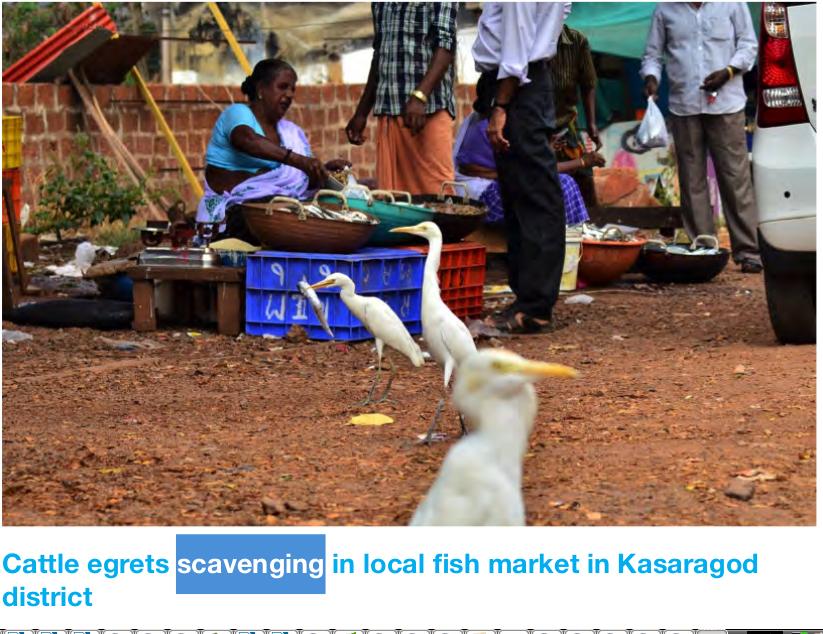 Египетские цапли кормятся на рыбном рынке в Керале