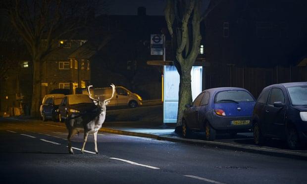 Лань пересекает улицу в Лондоне