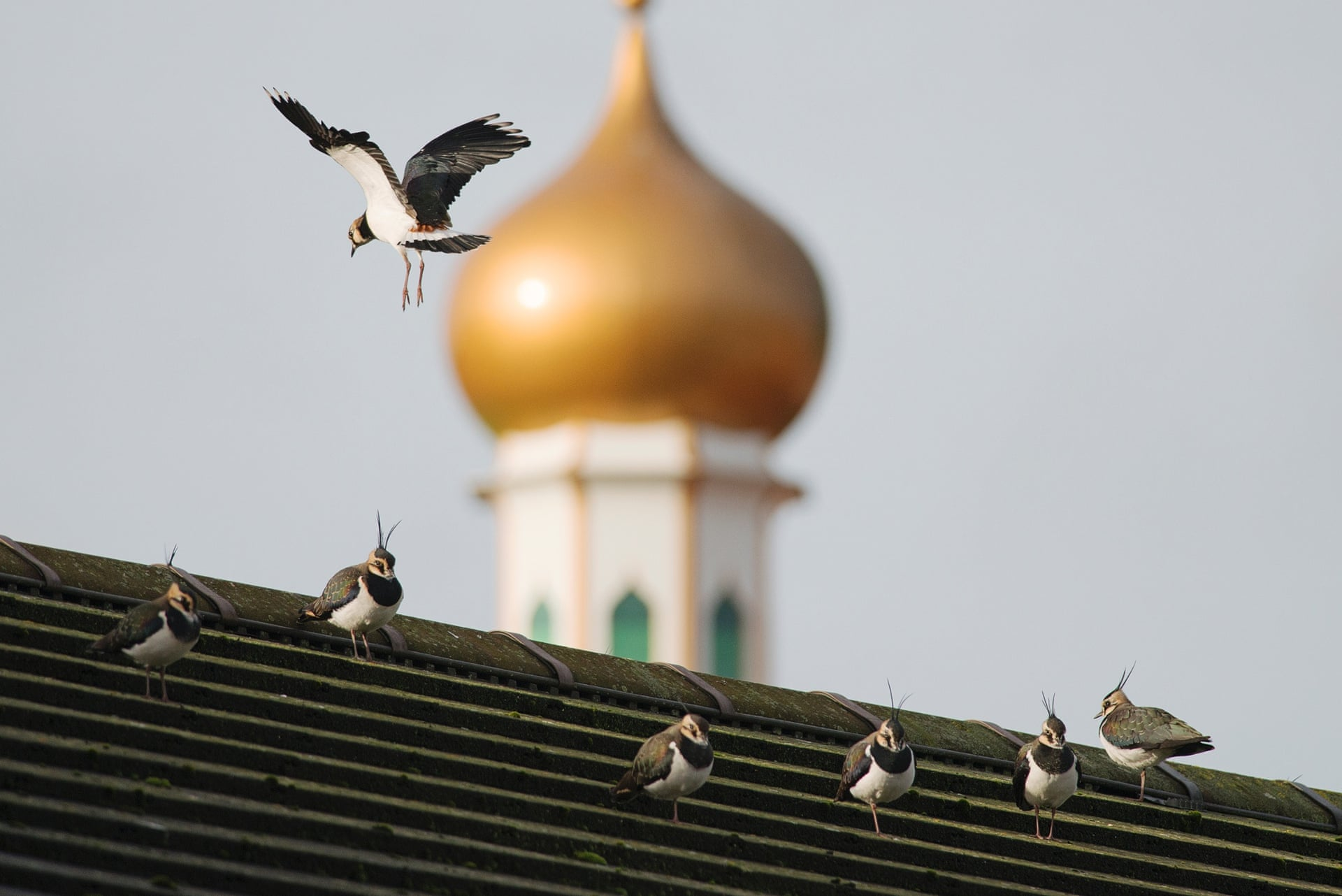 Городские чибисы на крыше в Манчестере