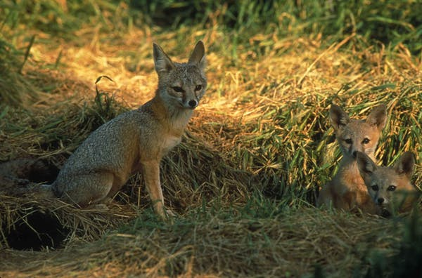 Сан-хоакинская лисица, находящаяся под угрозой исчезновения в Калифорнии, лучше сохраняется в пригородах, чем в природных биотопах