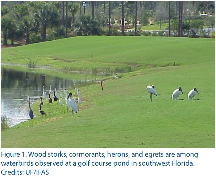 Цапли, бакланы, ибисы и американские ябиру активно используют пруды близ полей для гольфа во Флориде