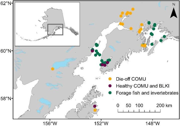 Массовая гибель кайр, моевок и рыбы в Аляскинском заливе от водорослевых токсинов