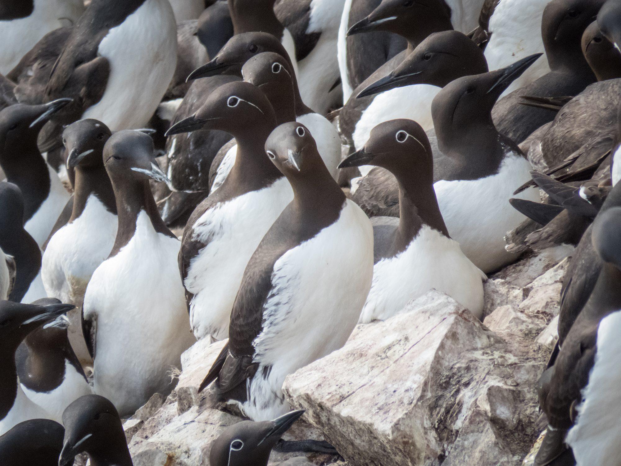 Тонкоключвые кайры (часть птиц очковой морфы). Здесь и далее фото птиц с Элементов.ру