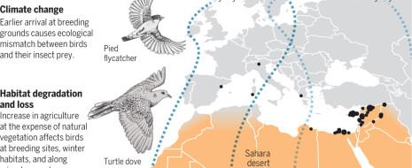На примере двух орнитологических работ - Flade et al., 2013 и Barlein, 2016 показывается, что дальние мигранты из Европы в Африку более уязвимы, чем оседлые виды или зимующие в Европе, и разбирается почему. Это присуще дальним мигрантам везде - в Северной Америке, в Восточной Сибири и т.д.