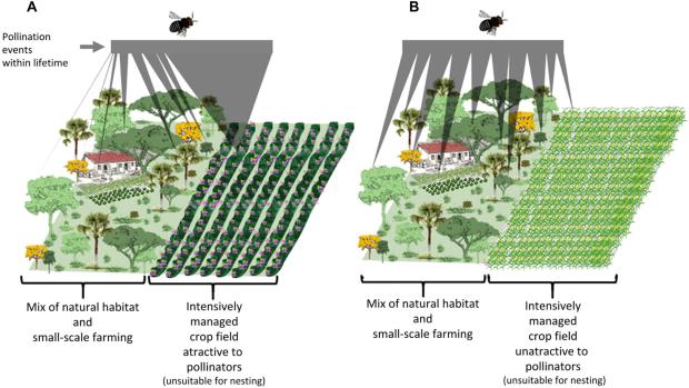 Случаи опыления,произведенные отдельным насекомым в течение его жизни в двух ландшафтах. (A) Половину территории занимают поля с интенсивно управляемыми культурами, привлекательными для опылителей и непригодными для гнездования опылителей и откладки яиц. (B) Половину территории занимают поля с интенсивно управляемыми культурами, непривлекательными для опылителей и непригодными для гнездования опылителей и откладки яиц. В период цветения сельскохозяйственных культур некоторые опылители предпочитают искать ресурсы на интенсивно обрабатываемых полях вместо того, чтобы получать такие ресурсы от дикорастущих растений. F. D. S. Silva et al. / Science Advances, 2021