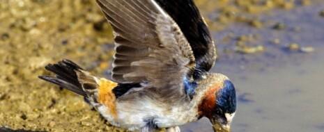Приведены примеры быстрых эволюционных изменений в связи с урбанизацией у птиц и ящериц. Важно, что экологические (приспособление) и микроэволюционные изменения во всех этих случаях одновременны, а не...
