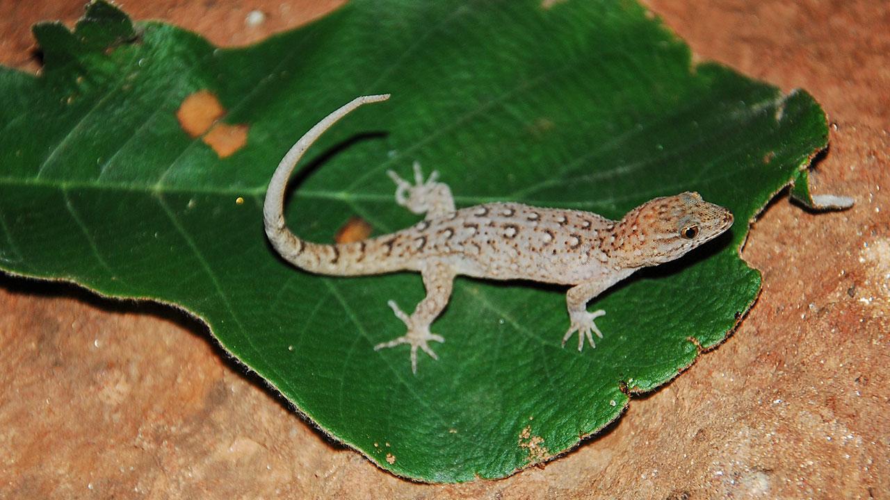 Геккон Gymnodactylus amarali, быстро эволюционировавший на островах водохранилища в Бразилии